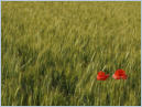 Two Lonley Poppies in Udine, Italy - June 2014